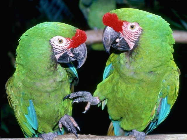 Great Green Macaws Wallpaper
