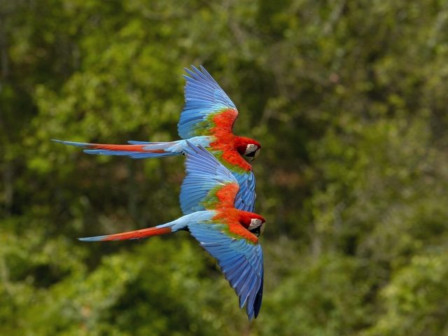 Green Winged Macaws Flying Wallpaper