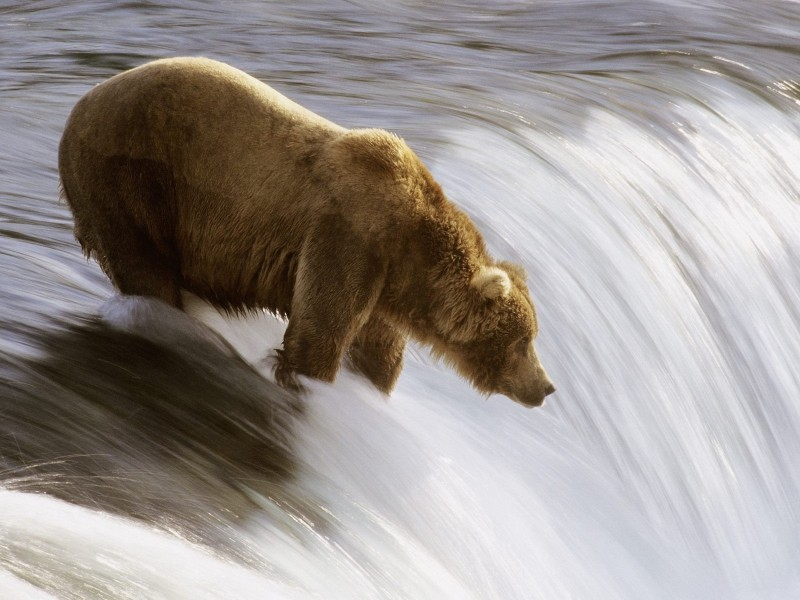 Grizzly Bear Fishing, Katmai National Park, Alaska Wallpaper