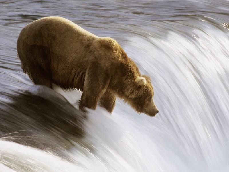 Grizzly Bear Fishing, Katmai National Park, Alaska Wallpaper