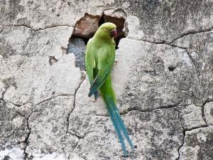 Indian Ringneck Parakeet Wallpaper