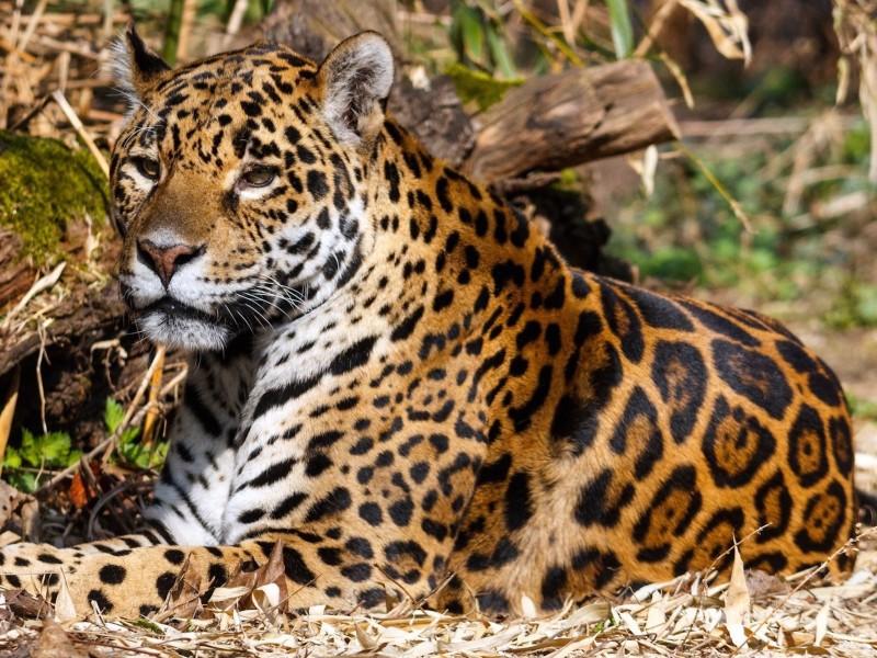 Jaguar Hiding Wallpaper