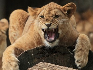 Lioness Growling Wallpaper
