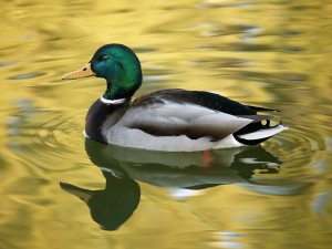 Mallard Swimming Wallpaper