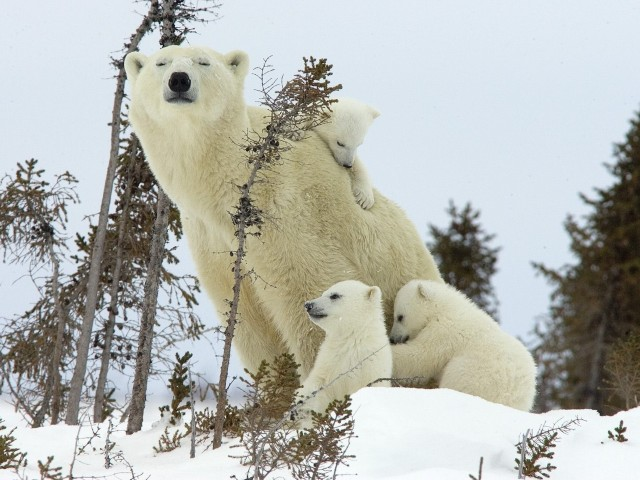 Polar Bear Mother-Cubs-Wapusk National Park Wallpaper