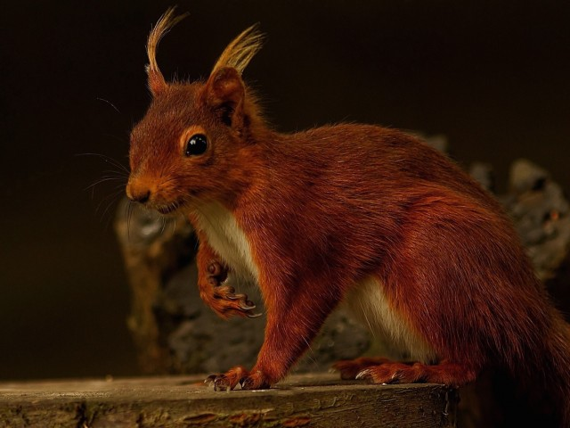 Red Squirrel Rodent Wallpaper