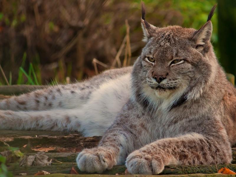 Solitary Lynx Wallpaper