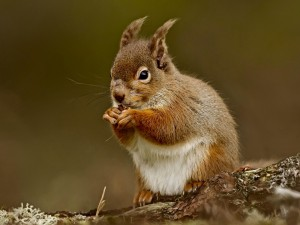 Squirrel Eating Nut Wallpaper