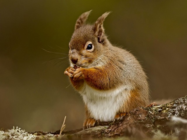 Squirrel Eating Nut Wallpaper