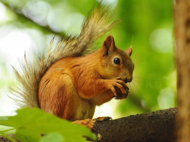 Squirrel Enjoying Nut Wallpaper
