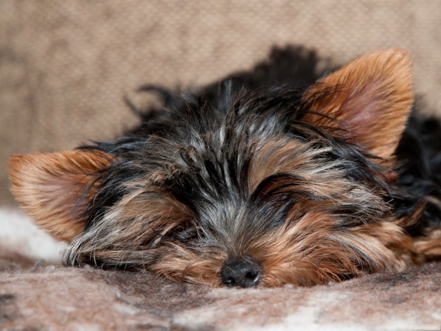 Yorkie Resting Wallpaper