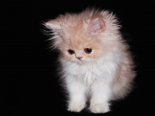 Adorable Furball Kitten Wallpaper