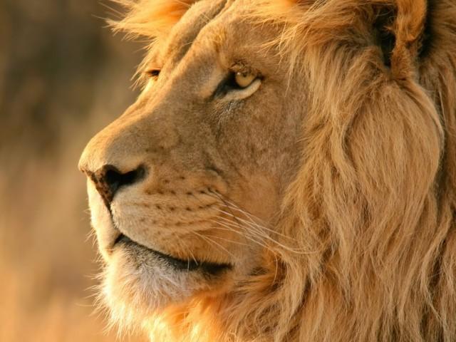 African Lion Safari Wallpaper