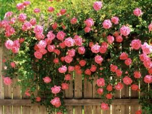 American Beauty Climbing Roses