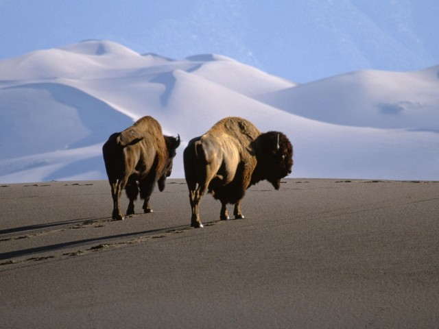 American Bison Wallpaper