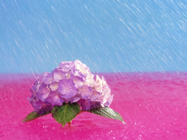April Showers Bring May Flowers,  Hydrangea