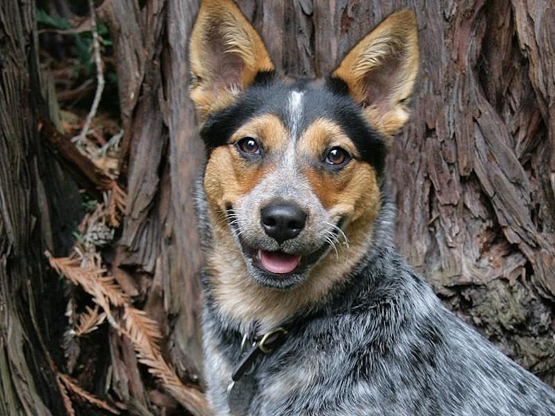 Australian Cattle Dog Wallpaper