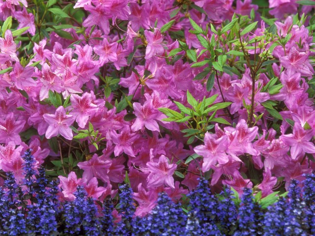 Azalea And Ajuga