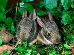 Baby Cottontail Rabbits Wallpaper