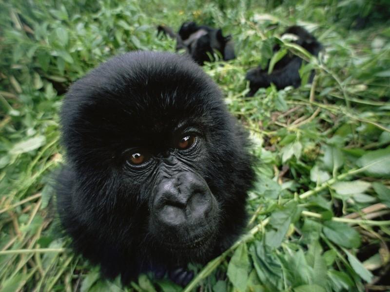 Baby Mountain Gorilla Wallpaper