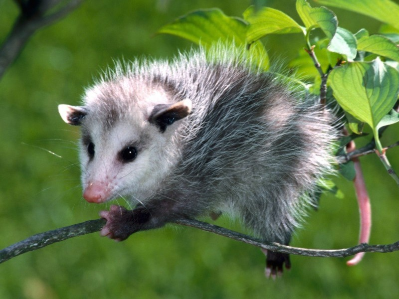 Baby Opossum Wallpaper
