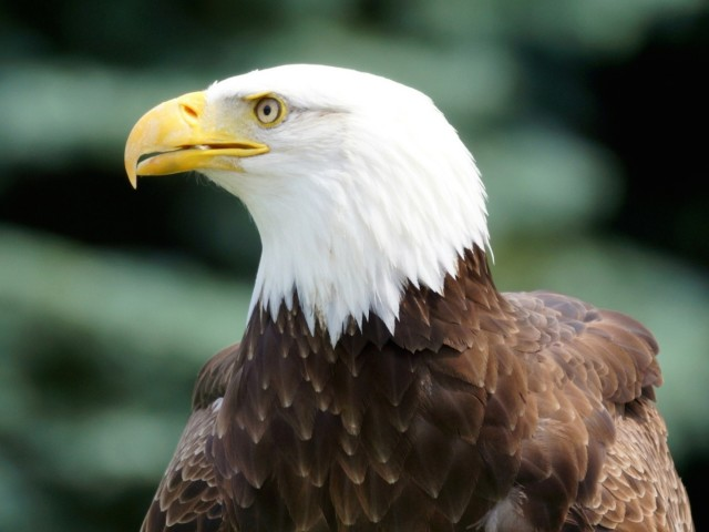 Bald Eagle Profile Wallpaper