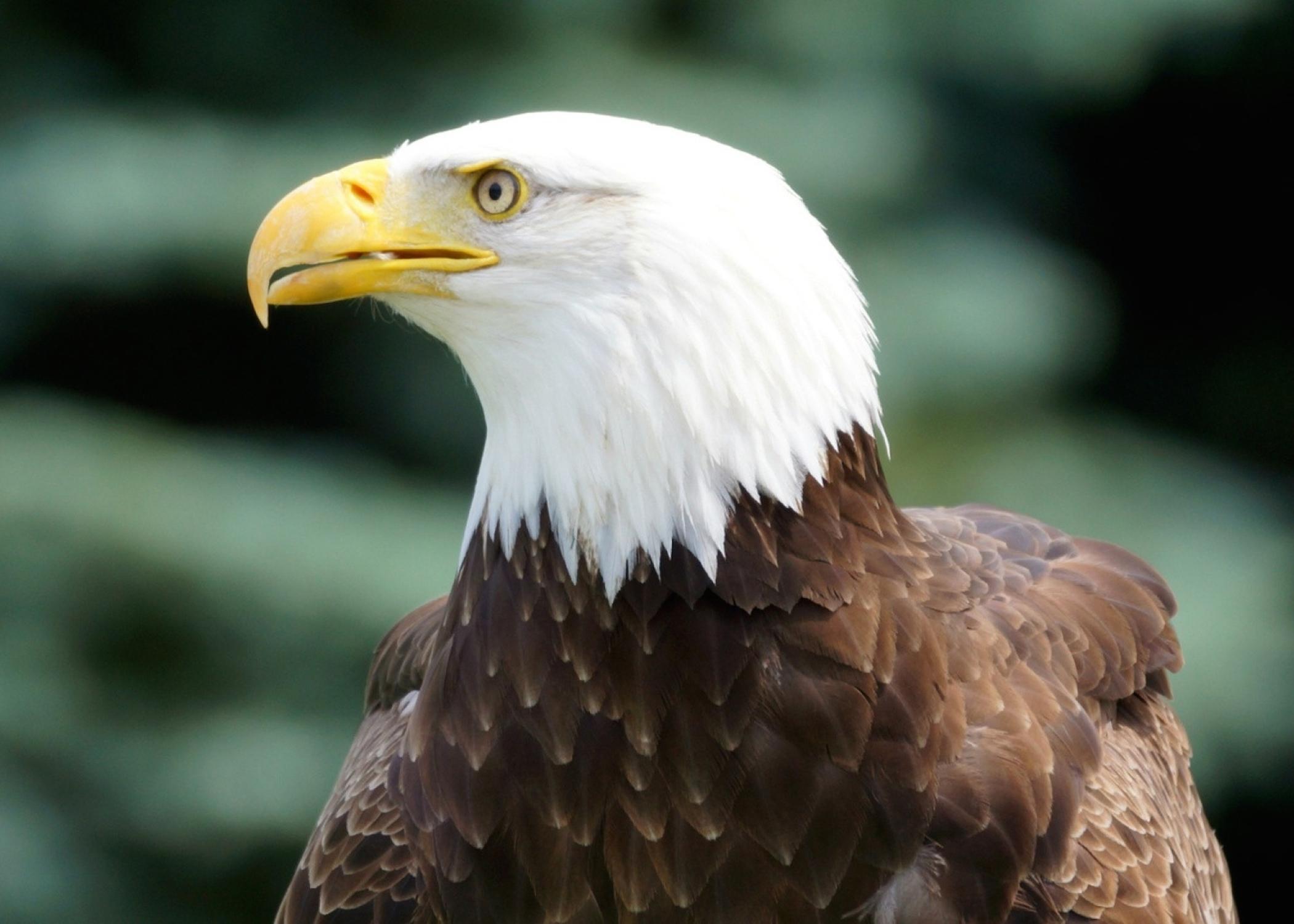 Bald Eagle Profile Wallpaper Free Eagle Downloads
