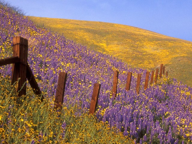 Barbed Wire And Wildflowers, Gorman, California