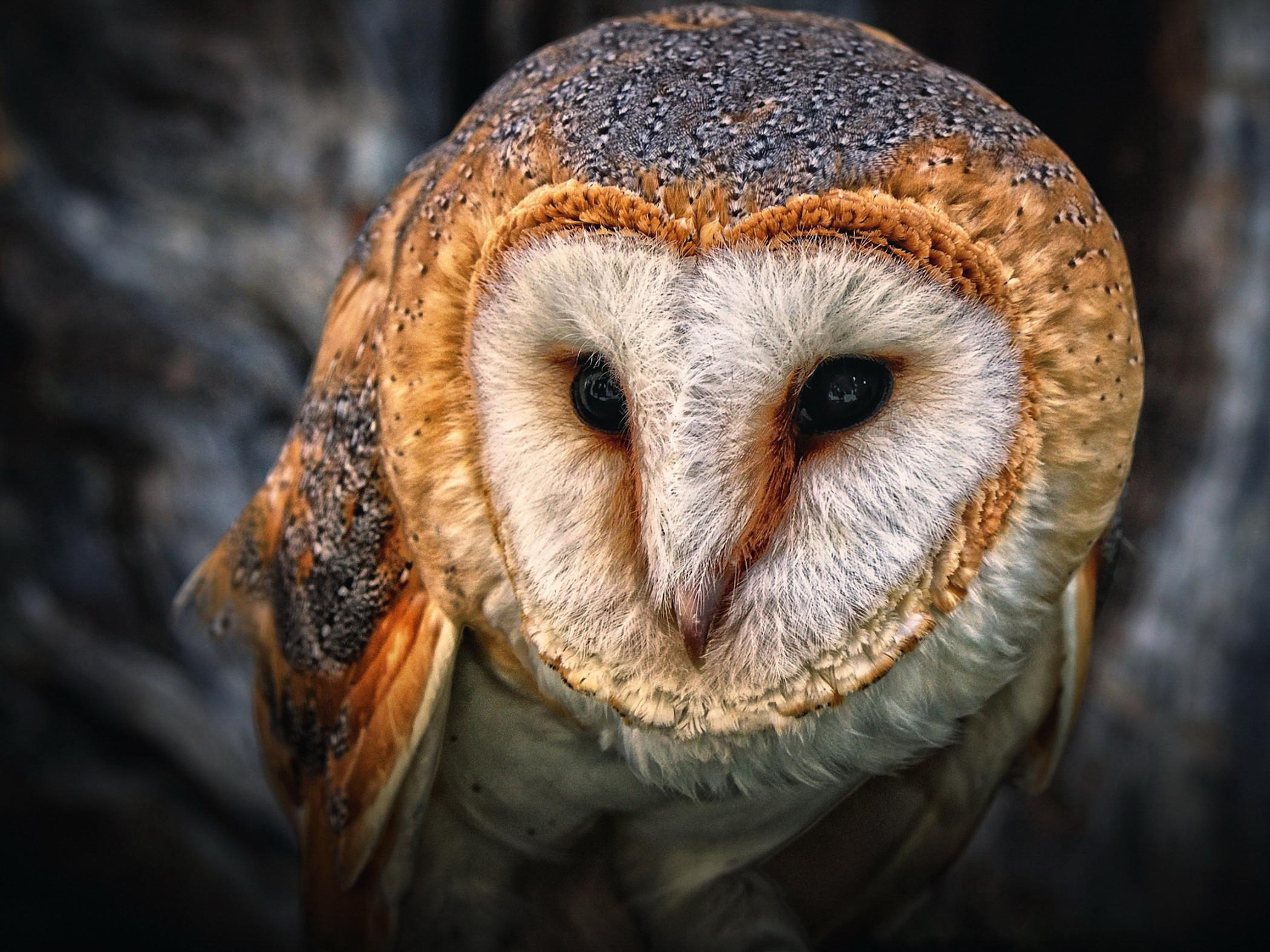 Barn Owl HD Wallpaper - Free Owl HD Downloads