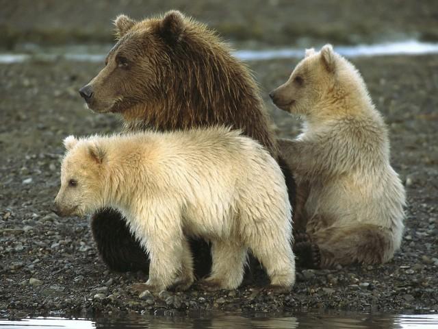 Bears Katmai National Park Alaska Wallpaper