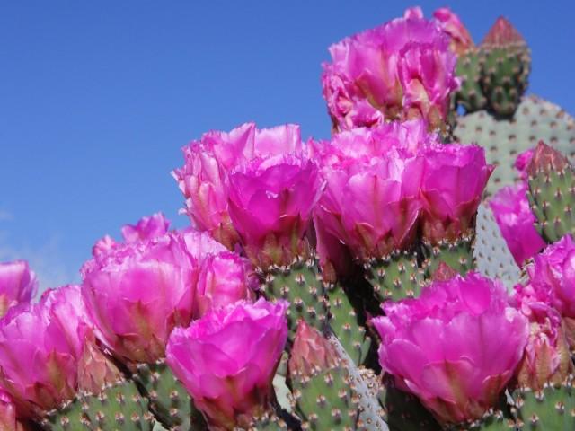 Beavertail Cactus, Joshua Tree National Park, California
