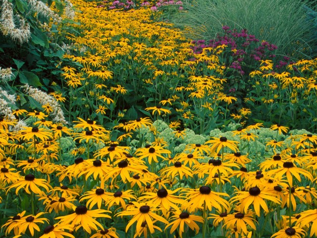 Black Eyed Susans, Holden Arboretum, Ohio