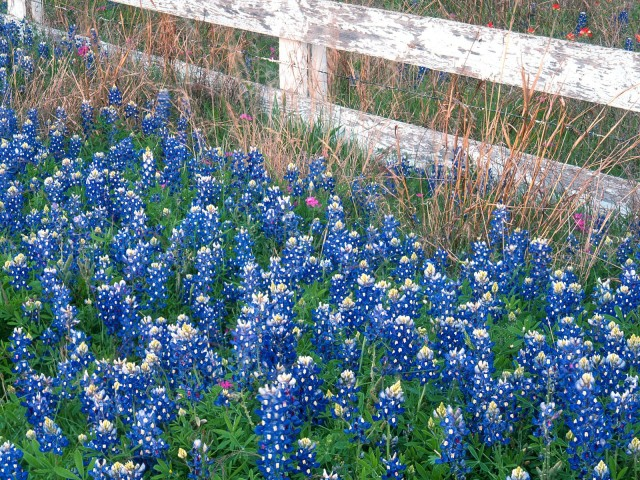 Blue Bonnets, Texas Hill Country,  Marble Falls, Texas