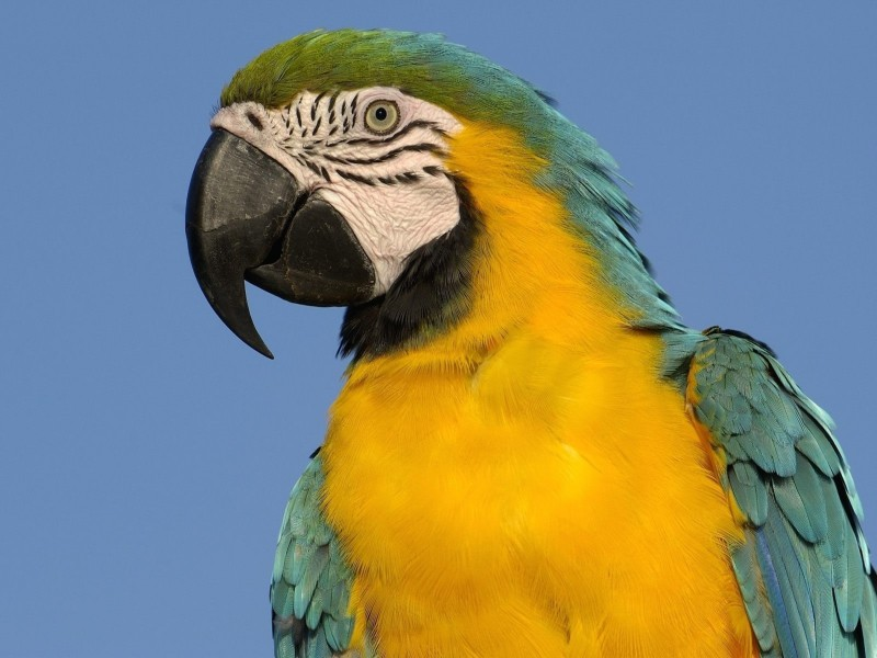 Blue and Yellow Macaw South America Wallpaper