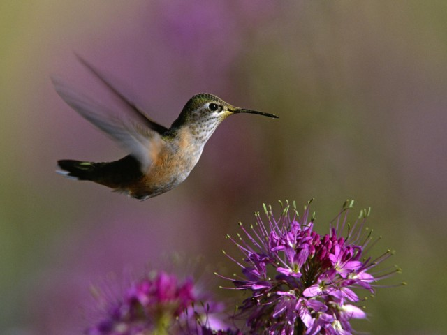 Broad-Tailed Hummingbird Wallpaper