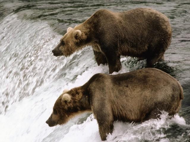 Brown Bears Fishing Katmai Alaska Wallpaper