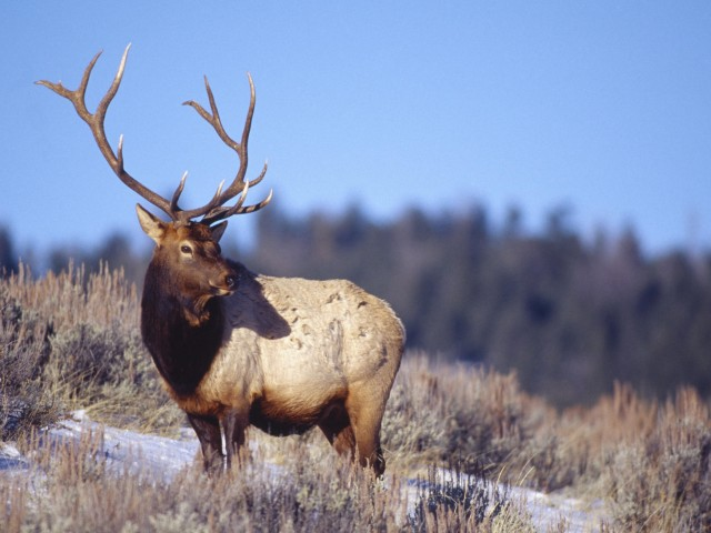 Bull Elk Wallpaper
