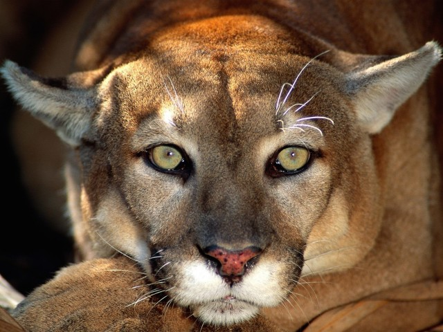 Cougar Big Cat Wallpaper