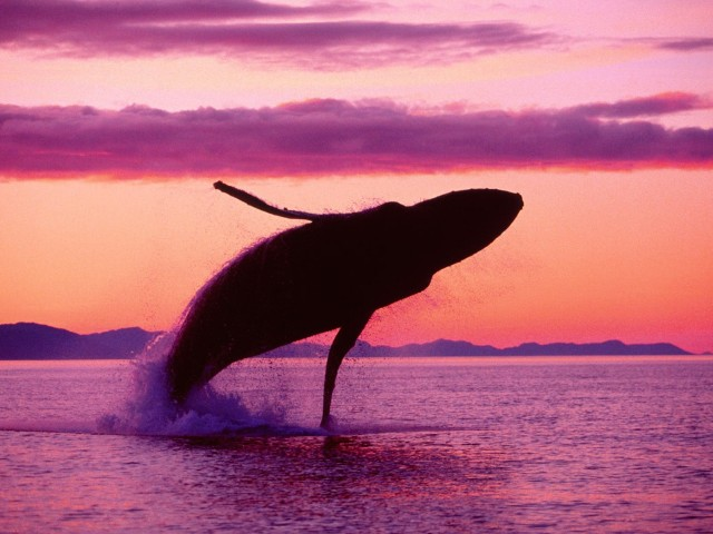 Crimson Flight Humpback Whale Alaska Wallpaper