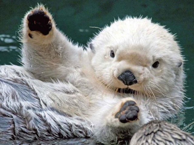 Cute Baby Sea Otter Wallpaper