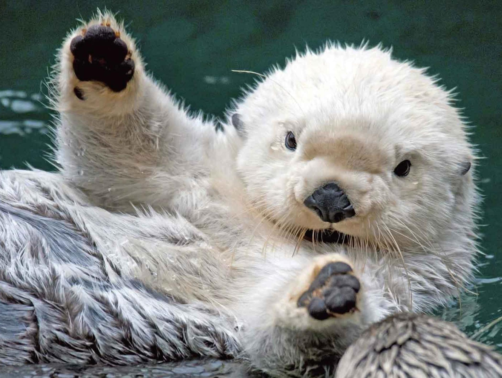 How Much Is A Lambo >> Cute Baby Sea Otter Wallpaper - Free Baby Animal Download