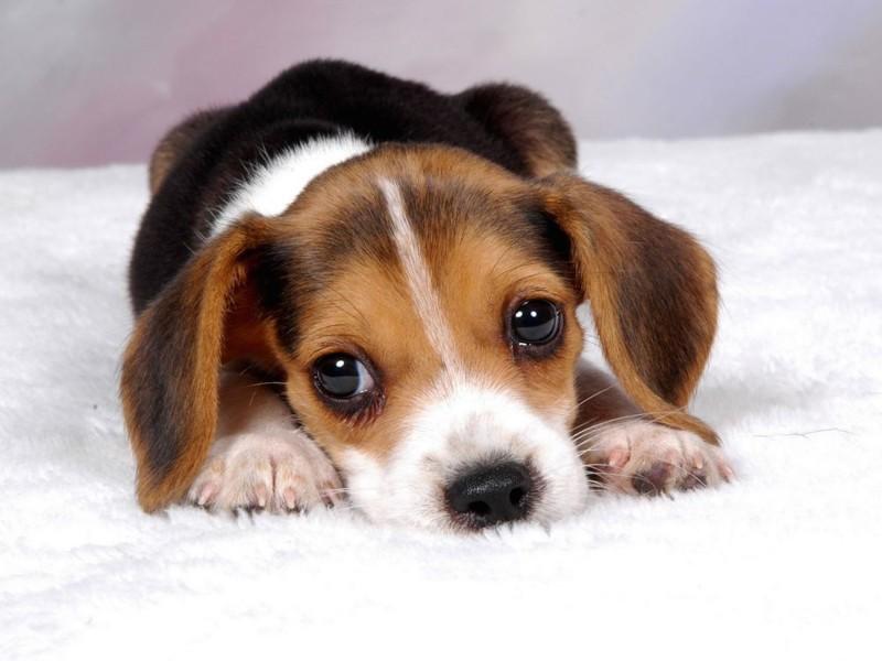 Cute Beagle Hound Puppy Wallpaper