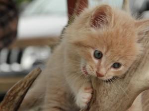 Cute Kitten Chewing Wallpaper