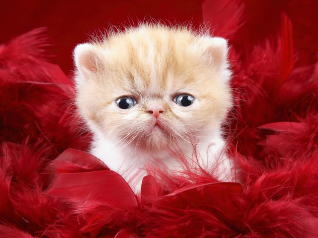 Cute Kitten Face Wallpaper (In Feathers)