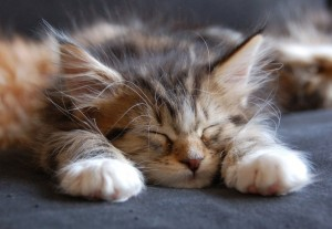 Cute Maine Coon Kitten Sleeping Wallpaper-HD