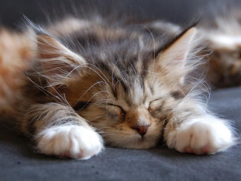 Cute Maine Coon Kitten Sleeping Wallpaper-HD