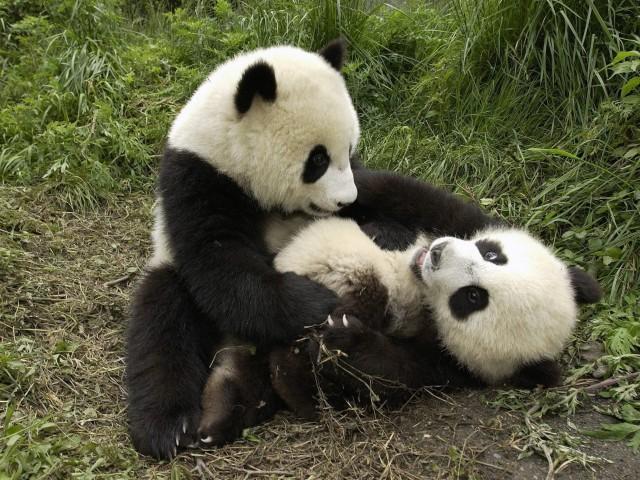 Cute Pandas Playing Wallpaper