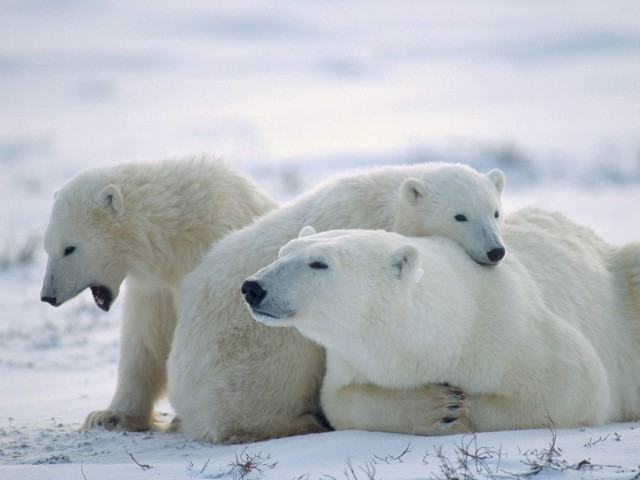 Cute Polar Bears Wallpaper
