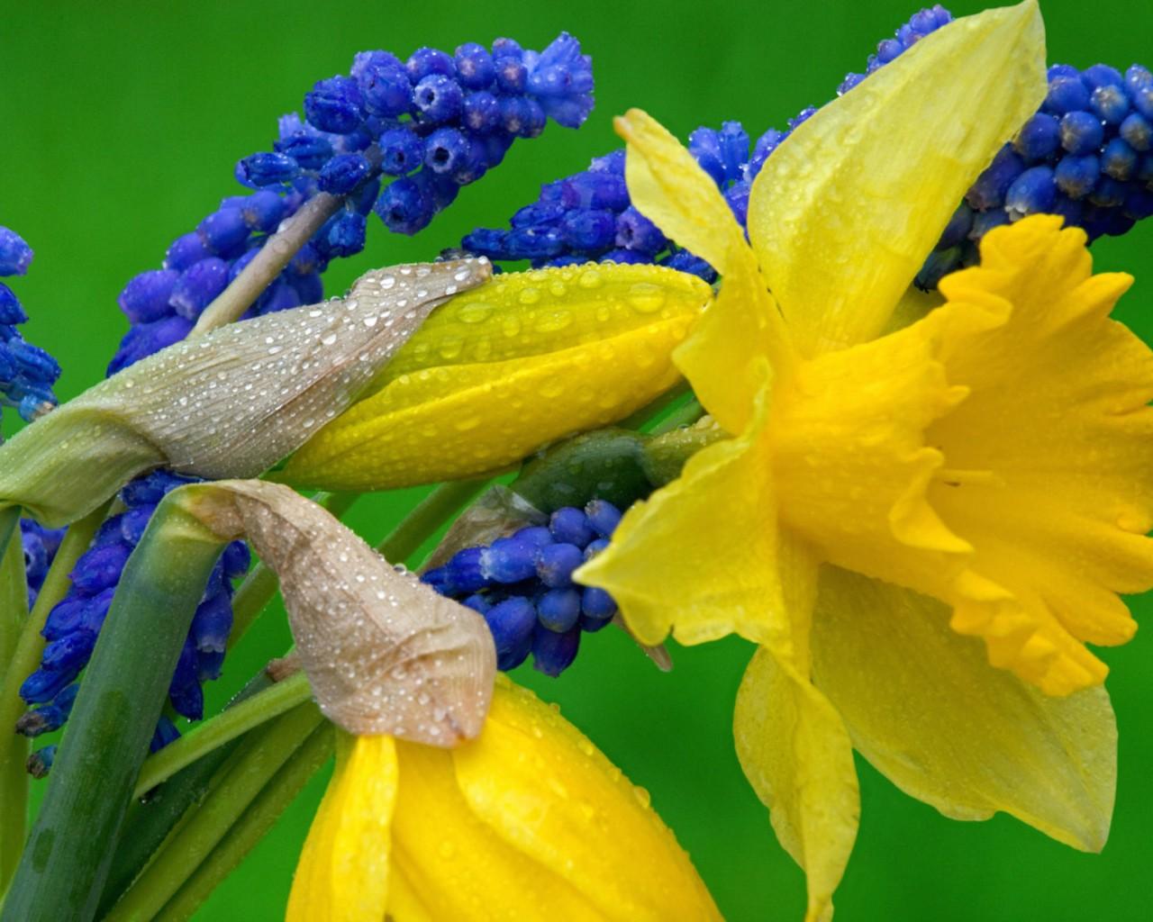 daffodils and grape hyacinth wallpaper - free downloads