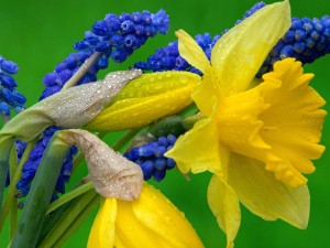 Daffodils And Grape Hyacinth Wallpaper